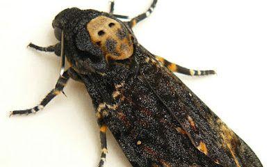 Synapse Science Magazine: Weird and Wonderful: Death's Head Hawk Moth