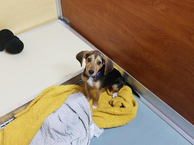 Henrietta Hawk is an adoptable Beagle searching for a forever family near Saint Charles, MO. Use Petfinder to find adoptable pets in your area.