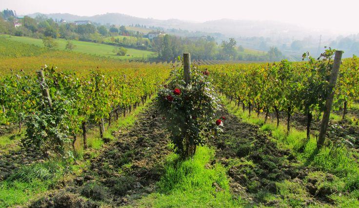 Wine+Region+in+Piedmont, Timorasso wine, Tortona Hills in Piedmont, Colli Tortonesi