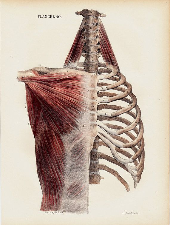 1844 Antique ANATOMY print by Lemercier, fine lithograph of  bone and muscle structure of the ribcage, pectoral, dorsal vertebrae