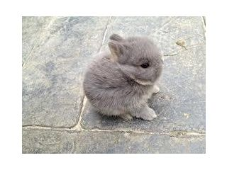 Purebred Miniature Netherland Dwarf Rabbit <3   if only I was living in London now ! :(