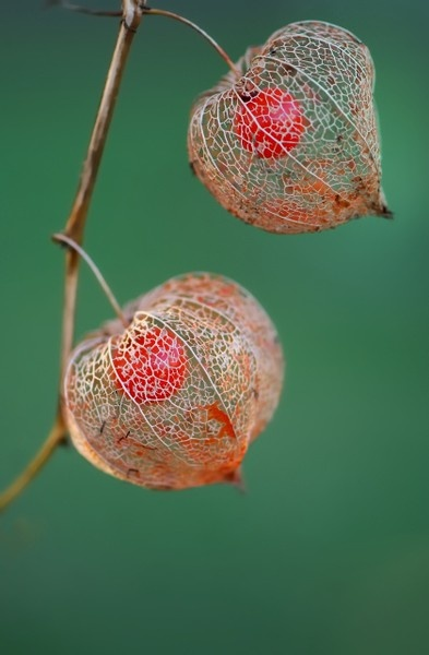 .: En Cages, Chinese Lanterns, Cherries Flowers, Plants, Unusual Flowers, Beautiful Flowers, Natural Design, Seeds Pods, Chine Lanterns