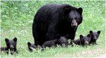 Taking the kids out for a stroll--Black Bears in PA