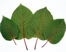Kratom Leaves are Handpicked leaves which was founded on South-East Asia