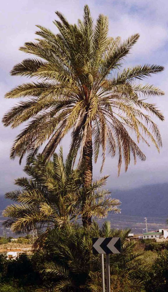 Date Palms in the WILD - Date Palm Tree Picture, Date Palms Buy Date Palms…