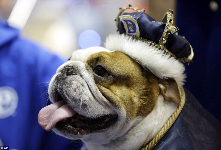 Huckleberry sits on the throne after being crowned the winner of the 34th annual Drake Relays Beautiful Bulldog Contest in Des Moines, Iowa, on Monday, April 22, 2013