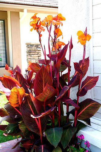 canna tropicana. I love this plant