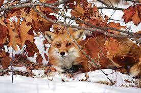 Výsledek obrázku pro liška obecná zvíře