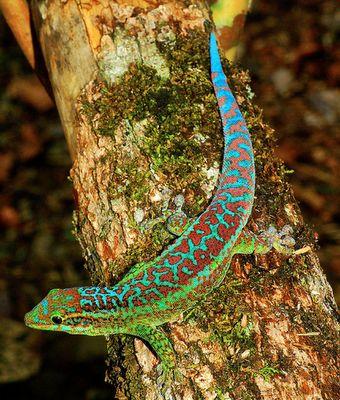 Gecko from Madagascar