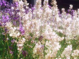 Che in un #giardino esistono anche i fiori di #lavanda bianca, non solo blu http://www.lafinestradistefania.it/2014/06/un-giardino-di-lavanda-bianca-e-blu-e-il-naso-gode-di-piu/