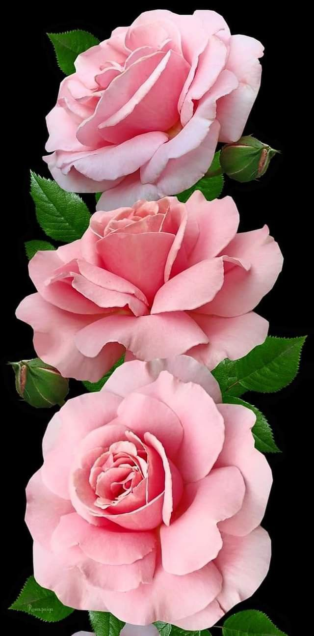 For Mama S Garden At Live Oaks Let S Put The Roses Around Water Fountains Put The Fountains At Each End Of The In 2020 Beautiful Roses Beautiful Flowers Rose Flower