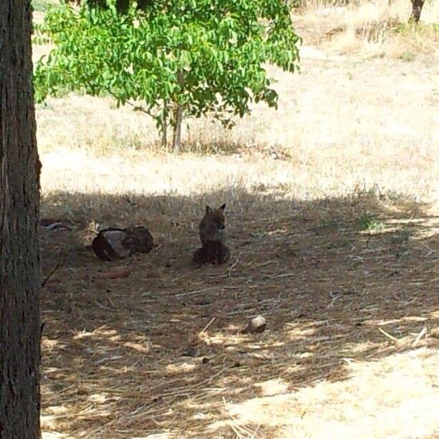 ...e in #Siclia anche le volpi ammirano incantate la bellezza della nostra terra... #typicalsicily #maniace