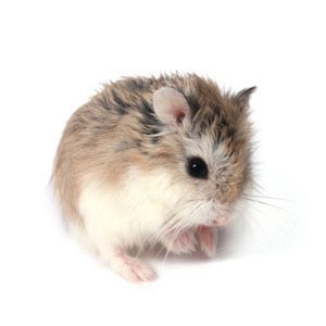 Facts about Dwarf Hamsters