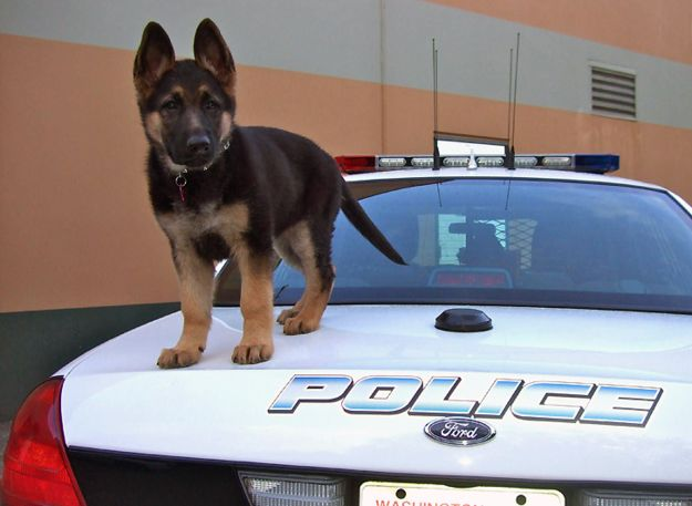"""""""Don't worry! I'll guard the car while the big dogs catch the bad guy.""""   18 Adorable Puppies On Their First Day Of Work"""