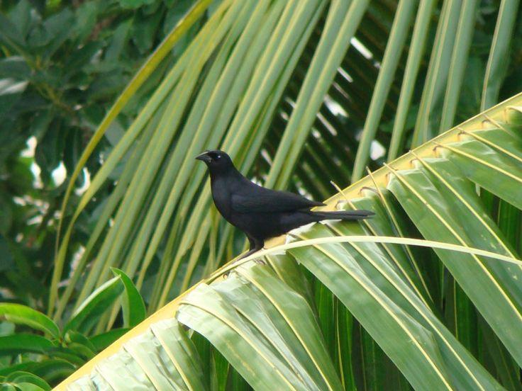 4. El totí: a black bird