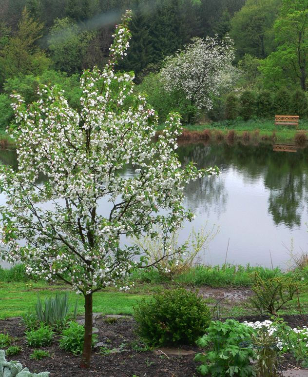 73 best trees images on pinterest flowering trees for Small ornamental trees