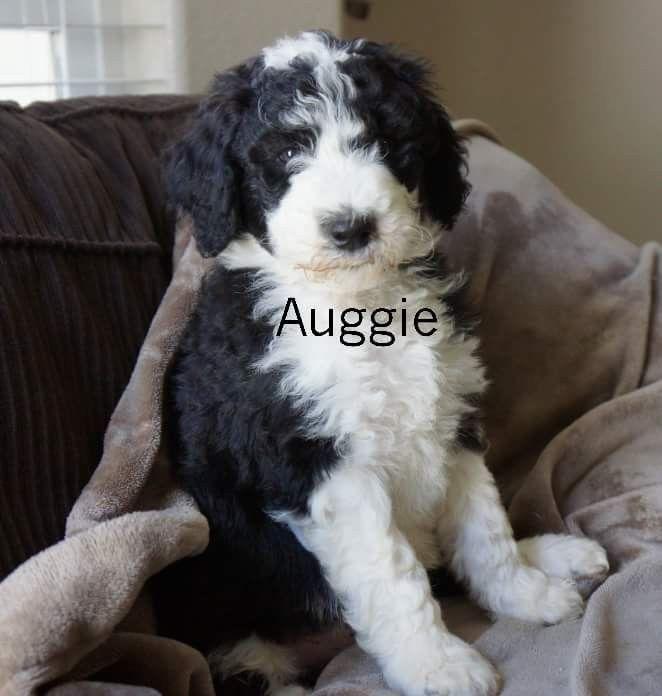 Fb Bordoodle Babies Hybrid Dogs Poodle Cross Breeds Dog Crossbreeds