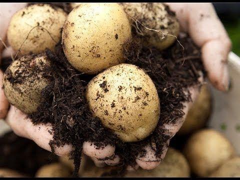 Des pommes de terre sur le balcon - YouTube
