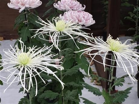 Japan's chrysanthemums: More than symbol of autumn http://bigstory.ap.org/article/7d50ebe112f84162a246dec2ed6461ae/japans-chrysanthemums-more-symbol-autumn