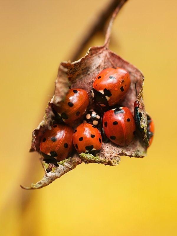 Ladybirds Invade Limpsfield: Friends :) (by Dorota Krauze) [ladybugs]