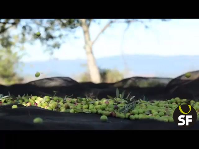 Once collected the olives, they are deposited in bulk and transported in the trailer the same day to the olive-oil mill, so the time between harvest and the crushed fruit  is reduced almost to hours.   This part of the process is very important in the care of the fruit harvest