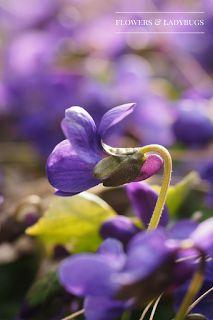 Violets (viola odorata) (healing plant)