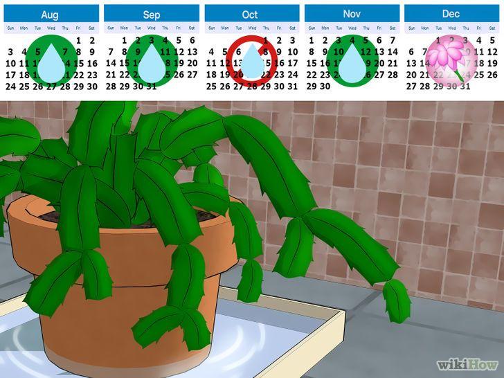 Care for a Christmas Cactus