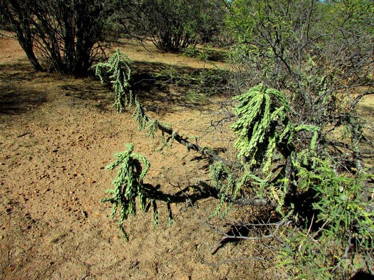 Un Gran Cardenche (Opuntia imbricata) en la Sierra de Juan Aldama, Durango, Mexico.