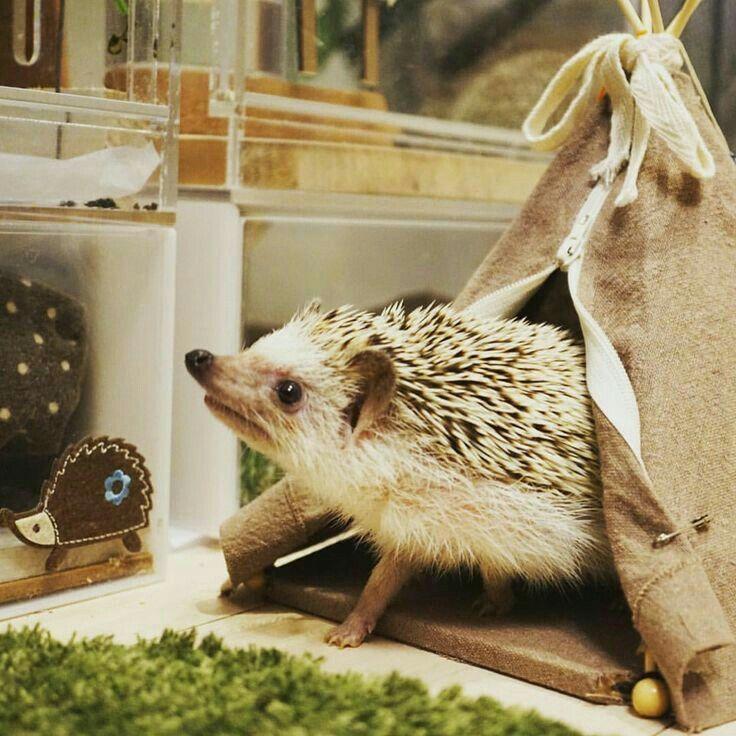 ♡ Beautiful Hedgehog in a Teepee ♡