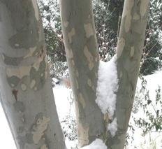 Snow Gum - aptly named