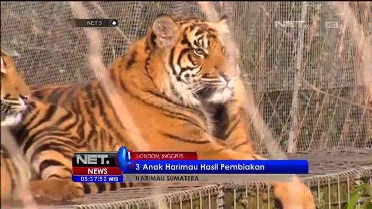 Anak Harimau Sumatera Berulang Tahun di Kebun Binatang London
