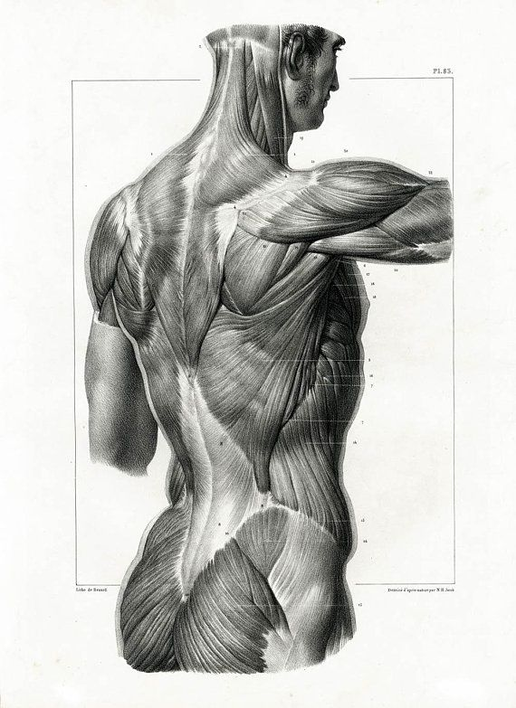 Anatomie Corps Humain Homme 1831 antique anatomy spine muscles backbone spine human body poster