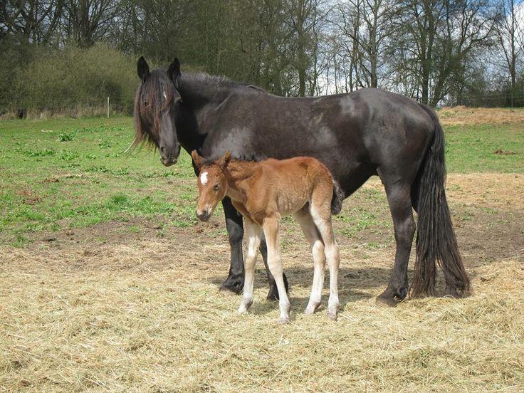 Novi van Haflonië with her lovely mama Nikita