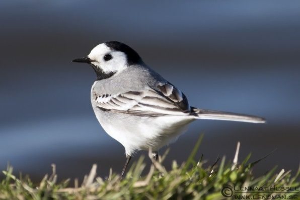 Pied wagtail. Top 25 Wild Bird Photographs of the Week #14 – News Watch
