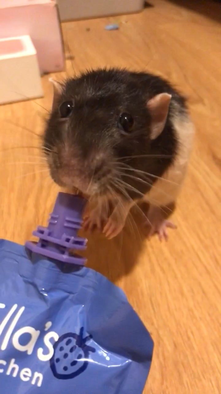 Meatball enjoys his baby food a lot rats baby food
