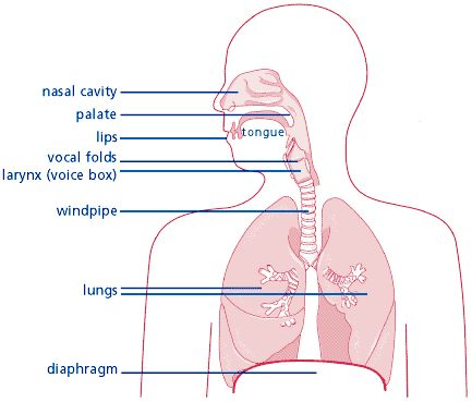 Parts of the body involved in voice production