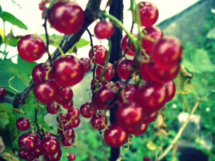 Red currants #red #berry
