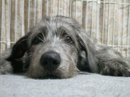 Cute Irish Wolfhound dog relaxing