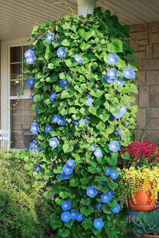Blue Morning Glories ... put in a hanging pot, and they will grow downwards. beautiful