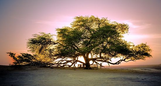 The Tree of Life located in Bahrain Saudia Arabia. It is believed to be the tree in the Garden of Eden. It is located in the desert & there is no water source known to man.