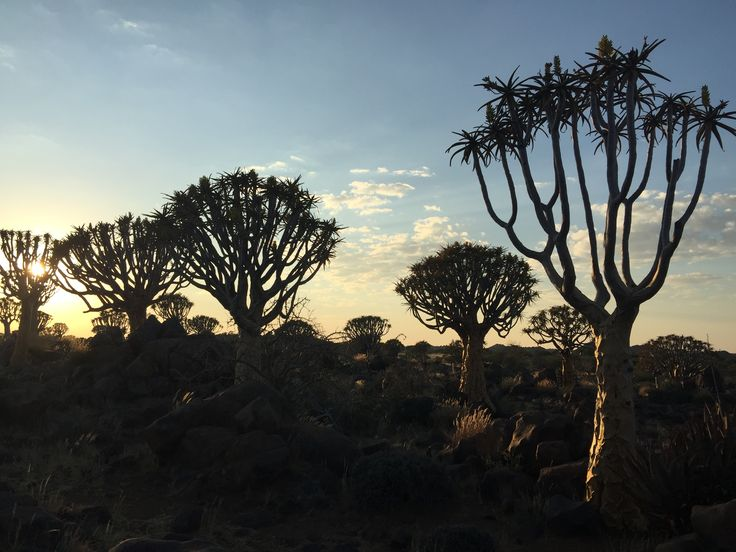 Kokerboom forest, dawn, Namibia