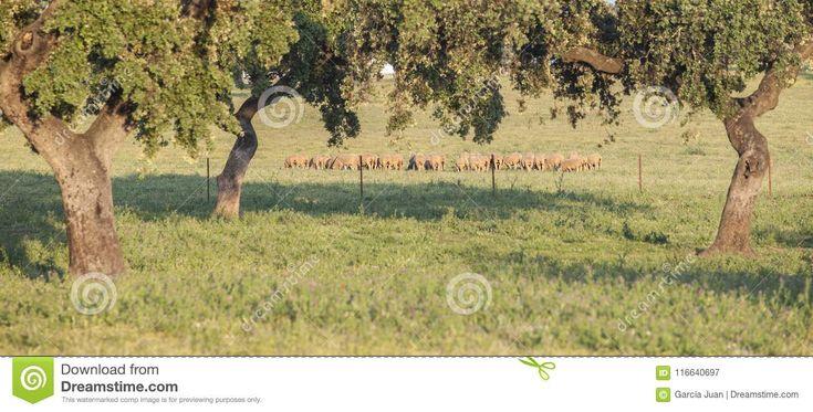 Flock of merina sheeps grazing free at Extremaduran dehesa, Spai. Breeds, mammals.