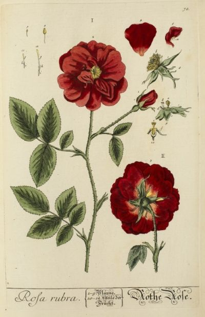 Botanical study of the 'Rosa rubra' (red rose), from Elizabeth Blackwell's 'Herbarium Blackwellianum', 1750.