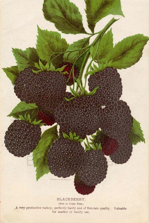 Chromolithograph of Blackberries