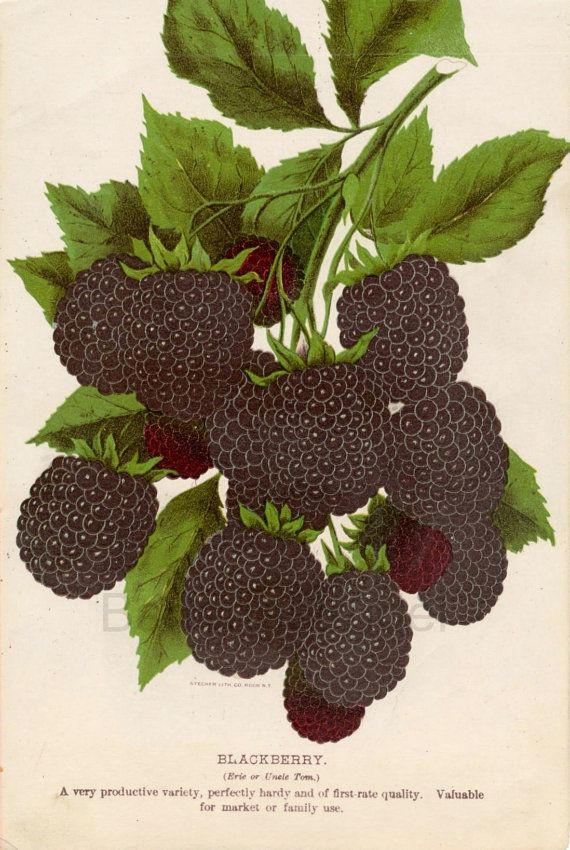 Chromolithograph of Blackberries