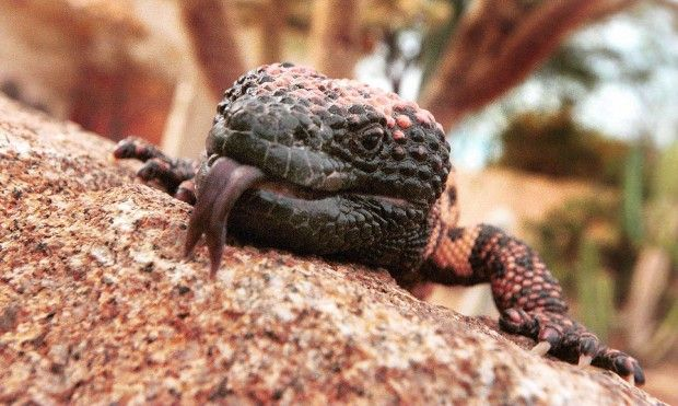 The largest Gila Monster ever recorded was 22 1/4 inches long, the average length being about 16 to 18 inches.