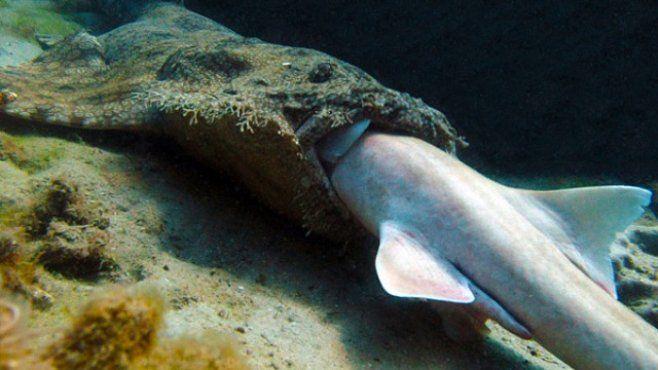 Žralok, který žere žraloka. První fotografie v dějinách