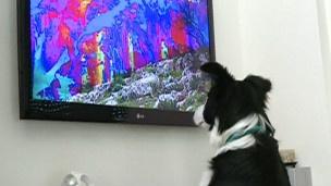 Empresa de TV israelense cria canal para cães   Os produtores da Dog TV afirmam que o conteúdo da programação é desenvolvido com a ajuda de treinadores especialistas e também de estudos científicos. http://mmanchete.blogspot.com.br/2013/03/empresa-de-tv-israelense-cria-canal.html#.UT5v2RxQGSo