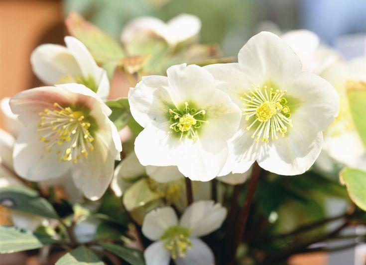 La rose de Noël, comme son nom l'indique, orne les jardins et les terrasses de décembre à mars. Le point sur l'une des rares fleurs qui s'épanouissent à cette période de l'année