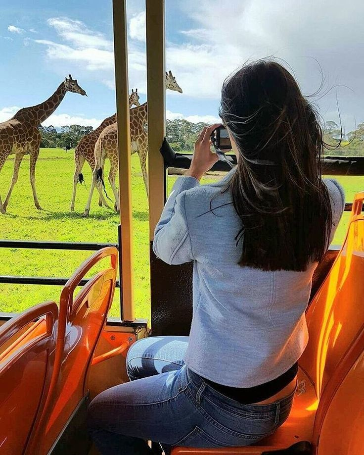 Took a safari bus through Melbourne's Open Range Zoo in Werribee and got up close with some of the worlds tallest animals, Giraffes 👀